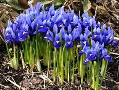 """My little irises usually show up in February, for my birthday - Specie Iris Bulbs (Dwarf) """"Reticulata"""""""