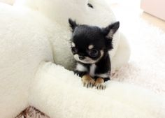 Micro Teacup Chihuahua, this one's cute! @Dana Curtis Armstrong Hee Head