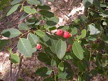Breynia oblongifolia foliage.jpg