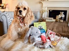 Happy Easter Everyone The Bunny brought me rabbit treats a bunny toy puppy popcorn and so many yummy cookies I hope everyone had a wonderful Easter happyeaster puppyeaster cockerspanielpuppy yegdogs puppiesofyeg yegpuppies buffcockerspaniel darlingdearco