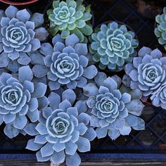 Blue Steel // #dallavita #succulent #bluesteel