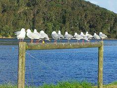 Ettalong Beach gulls