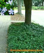 Vinca Minor Evergreen Ground Cover - pic taken in Savannah, GA. Vinca Minor Ever Landscaping With Rocks, Landscaping Plants, Front Yard Landscaping, Landscaping Design, Evergreen Ground Cover Plants, Outdoor Plants, Outdoor Gardens, Gardens, Landscaping