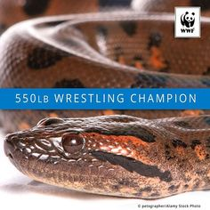 You wouldn't want to wrestle this champion. The anaconda is the world's largest snake and it constricts and suffocates its prey. WWF is working to help secure a future for the Amazon through programs like ARPA--the largest rain forest conservation project in history. Protecting the Amazon's precious and vital habitat is a win for nature and for all of us. #Rio
