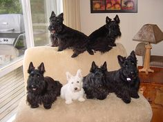 Scotties | The family of 6 Scotties!