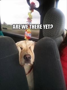 Are we there yet?!  #labrador