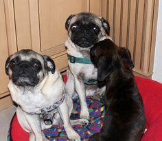New puppy Chelsea scares Ben & Jerry