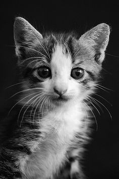 Black And White Photo Of A Forlorn Looking Kitten Animal Photos