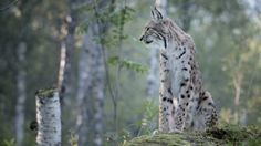 In Finland, you can find some of the world's last wilderness regions, where you can experience the untouched nature with its rare wild animals.