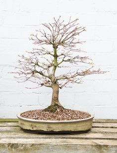 Japanese Mountain Maple Bonsai Tree (Acer palmatum) Repotted into China Mist Bonsai Pot by Steve Greaves, via Flickr
