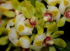 Orchid: Gastrochilus japonicus