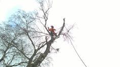 ohtlike puude langetamine  #puumehed #ohtlikepuudelangetamine #treesurgery #arborist #treeworks #puudelangetamine #estonia #eestipuud #hysqvarna #treeremoval  vt veel http://www.puumehed.ee