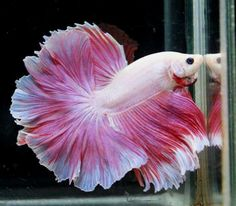 Pink White Butterfly Rosetail...