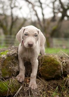 Weimaraner Pup ~ Classic Look Doggies, Dogs And Puppies, Hound Dog Breeds, Weimaraner Puppies, Mans Best Friend, Belle Photo, Dog Life, Animal Photography, Puppy Love