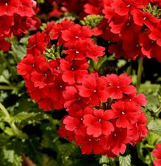 *** VERBENA *** in many colors, Annual. hanging baskets & walls