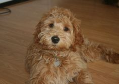 F3 Labradoodle (F1-B labradoodle and an australian labradoodle mix)