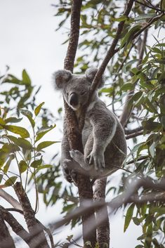 The Forts Track Koalas auf Magnetic Island Animals And Pets, Baby Animals, Cute Animals, The Wombats, Animal Magic, Australian Animals, Wild Dogs, In The Tree, Wildlife Art