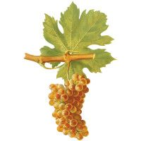 Roussanne Wine Grape of the Rhone Valley - http://winefolly.com/review/savoie-wine-guide/