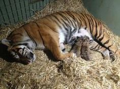 Australia Zoo's Sumatran tiger, Kaitlyn, safely delivered two healthy male tiger cubs on August 22 - the first tiger cubs to be born at Australia Zoo in its 43 year history. #tiger #tigers #cub #tigercub #australiazoo #wildlife #sumatrantiger #conservation #australia #zoo