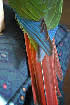Green cheek conure tail feathers