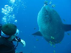 Just me and the Mola Mola, aka Sunfish, chilling out. I am an Advanced Scuba Diver with more than 60 dives. Unlike the movies, we want to see the sharks. Snorkelling, Underwater World, Scuba Diving, The Good Place, Stuff To Do, Ocean, Sharks, Chilling, Travel
