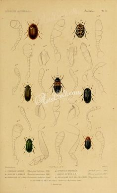 insects-03961 - 036-thymalus, nitidula, byturus, dacne, dermestes, megatoma, anthrenus [1801x2970] -