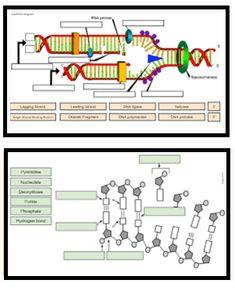 Biology Lessons, Ap Biology, Teaching Biology, Molecular Genetics, Dna Replication, Biology Classroom, Student Drawing, School Worksheets, Interactive Learning