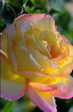 Pretty yellow rose - https://weheartit.com/entry/298266337