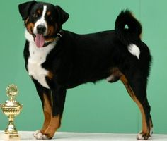 Appenzeller Sennenhund: Rare Breed. Not AKC Recognized.   Contact: Appenzell Mountain Dog Club of America, Deb Schneider, DVM, President, W. 7112 Cherry Hill Dr., Adell, WI 53001, animaldocs@wi.rr.com
