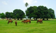Horses at Vieques by Mickey Carrasquillo, via Flickr