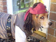 Arrr! A pirate beagle #dog #beagle #animal #