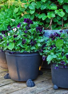 pansies with footed planter