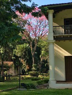 Lapacho y casa de Don Carlos. Asunción-Paraguay