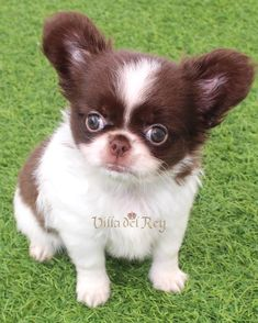 Long Haired Chihuahua Puppies, Long Coat Chihuahua, Cute Chihuahua, Dogs And Puppies, Small Dog Breeds, Small Dogs, Little Critter, Four Legged, Chihuahua Dogs