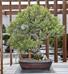 The most expensive bonsai tree ever a centuries old pine for Most expensive bonsai tree ever