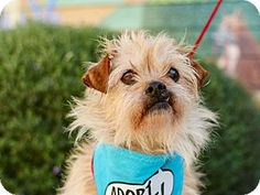 Special Needs! Pacific Grove, CA - Terrier (Unknown Type, Medium) Mix. Meet Rosie Terrier, a senior 9 yr. old dog for adoption. Rosie has a grade 4-5 heart murmur which will need to be monitored. She also has a detached retina in her left eye which is blind. http://www.adoptapet.com/pet/17555138-pacific-grove-california-terrier-unknown-type-medium-mix