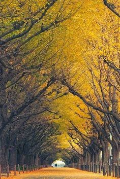 Ginkgo Biloba Trees - Japan