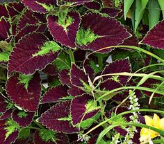 Coleus Dipt in Wine--glowing yellow boss at the heart of each leaf blends to a deep, mottled maroon near the tip; leaves have scalloped, sun-lit edges that look great in containers.