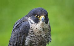 Ultra HD hawk bird