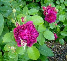 Rose 'William Shakespeare', again!