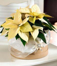 Decora la Navidad con flores de Pascua