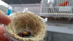 Mis primeras crias de verderon,(verderon comun / verdona mutada)