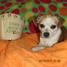 Meet Cabana Boy Carlos New England CM a Petfinder adoptable Chihuahua Dog | Providence, RI | Adoption Donation: $249  Located: New EnglandWeight: 8lbs   DOB: 8/10/09Contact: Cathie -...