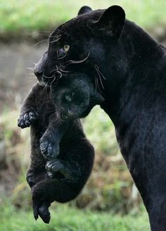A newborn black jaguar is carried by her mother, named Venus, at the Park of the Legends zoo in Lima.