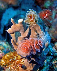 Christmas tree worm - lives on tropical coral reefs around the world. #animals #places #wildlife #wildlifeplanet #sea #destination_wild