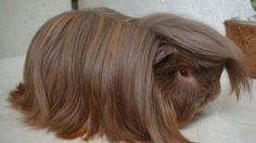 Peruvian Guinea pig | For Sale: Peruvian and Alpaca Guinea Pigs - Page 2