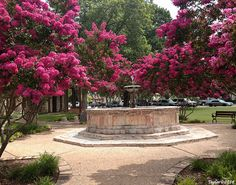 Myrtles surrounding the fountain at the Fredericksburg, Texas Public Library... defining the WOW FACTOR!