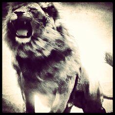 Leo the Lion Leo Lion, Animals, Animales, Animaux, Animal, Animais