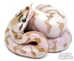 RenickReptiles.snake.ball python.Enchi Nuclear Spider
