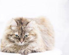 brown tabby cat of siberian breed @fotoliai #cat #kitten #pet #animal #cute #gatos #little #feline #puppy #siberian #meow #cuddling